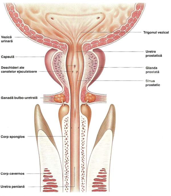 Afecțiunile prostatei din ce în ce mai întâlnite la tineri. Cum le previi în mod natural?